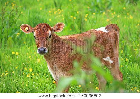 calf in a field full of buttercups