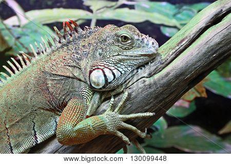 the a portrait of green iguana closeup