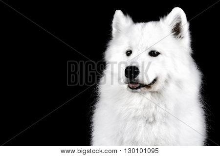 Beautiful samoyed dog isolated on black background