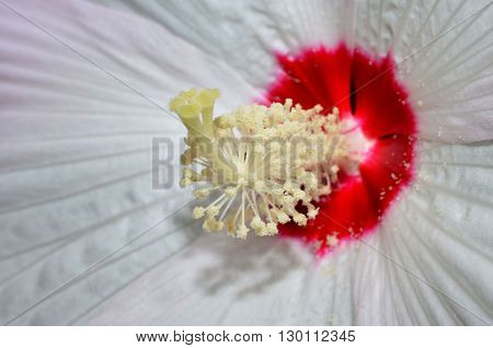 Tropical delicate Hibiscus flower detailing interior pollen, anther and stigma. Macro abstract floral background or backdrop.
