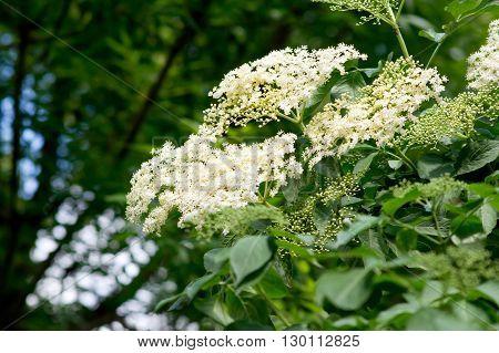 Elderberry (Sambucus nigra) flowers edible and medicinal properties.