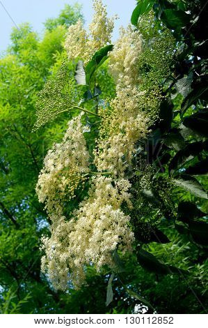 Elderberry (Sambucus nigra) flowers edible and medicinal properties.