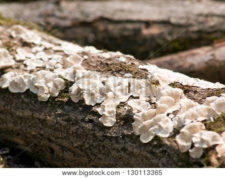 The dry live trees the split gill mushroom.