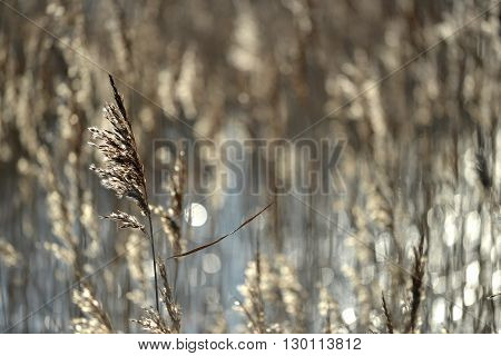 Backlit reeds in wetland low winter sun
