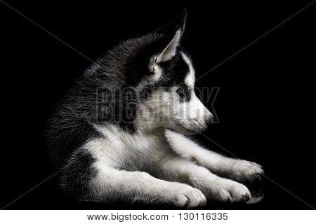 Beautiful husky dog isolated on black background