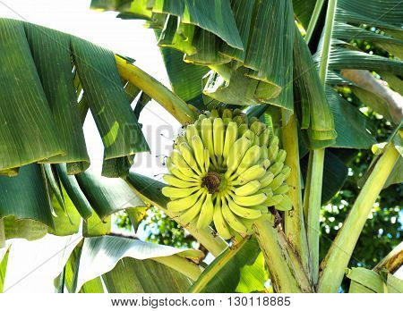 Ripe bananas on a banana tree. Farm. Philippines .. Philippines.
