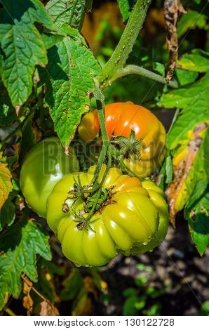 Picture of the Green tomatoes growing in the garden