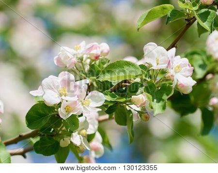 Beautiful Flowering Apple Trees.