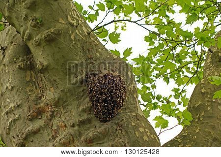 A swarm of bees on a tree in a rainy spring day