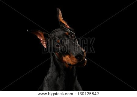 Closeup portrait of Doberman Pinscher Dog Curious Looking in Camera on isolated Black background