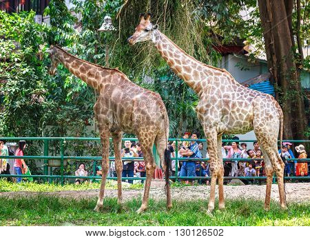 Ho Chi Minh City, Vietnam - April 9th, 2014: Pair giraffes in petting zoo with tall bodies, long necks really brilliant in zoos attract children to admire, this animals need preserved in natural world in Ho Chi Minh city, Vietnam