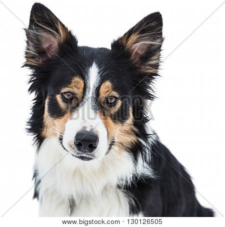 Close-up of a tricolor border collie isolated on white