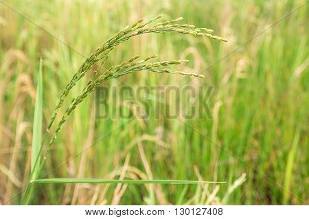 Close up spike in the rice field