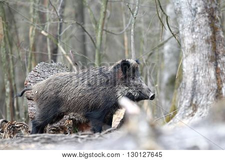Mother boar with piglets in the forest
