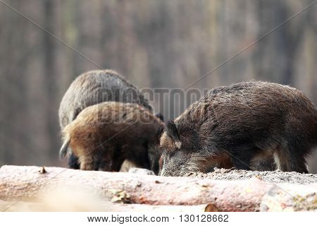 Group boars dig the sand in search of food