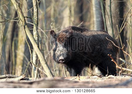 Big wild boar standing in spring forest
