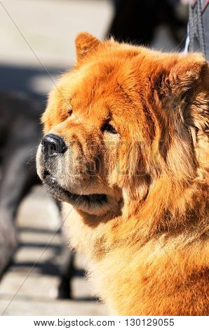 Chow-chow dog outdoor portrait over blurry background