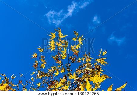 Autumn maple leaves against blue sky on the background. Yellow foliage of fall season texture wallpaper. Copy space selective focus
