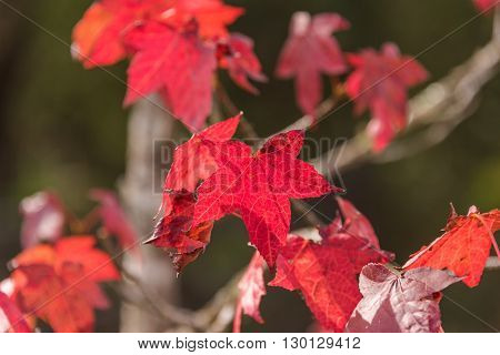 Autumn maple leaves close up with blurred background. Red foliage of fall season texture wallpaper. Copy space selective focus