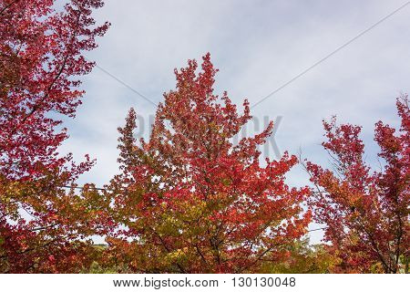 Autumn leaves texture against sky on the background. Red foliage of fall season background wallpaper. Looking up the tree canopy