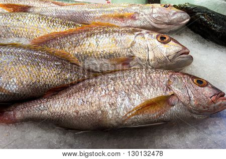 Raw snapper on ice. Fresh fish background