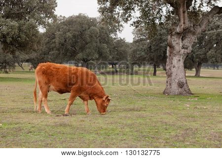Beef cows grazing in the pastures of Extremadura in Spain