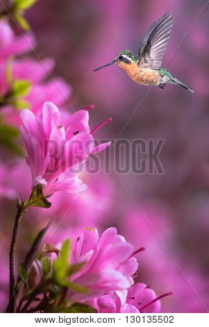 Delicate petals of pink flowers with Hummingbird