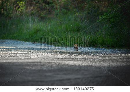 Eurasian Hoopoe Upupa epops on the road