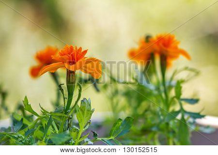 Marigold In Vase