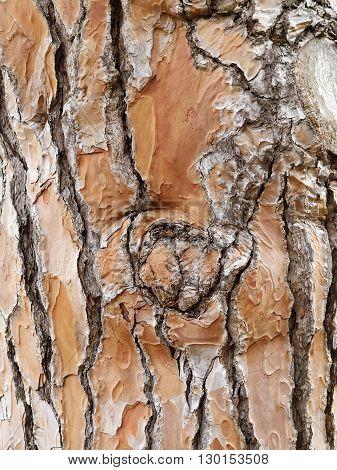 detail of pine tree wood skin texture