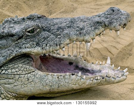 Impressive jaw of a crocodile with open mouth