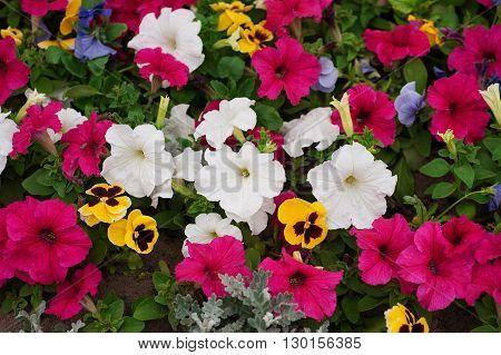 flower bed with lot of different colors petunias in park.