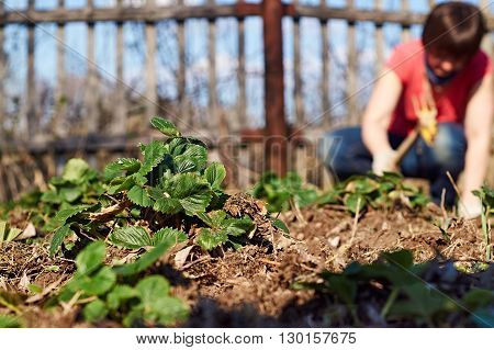 Middle-aged woman is weeding the strawberry beds