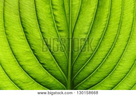 Green leaves background. Leaf texture