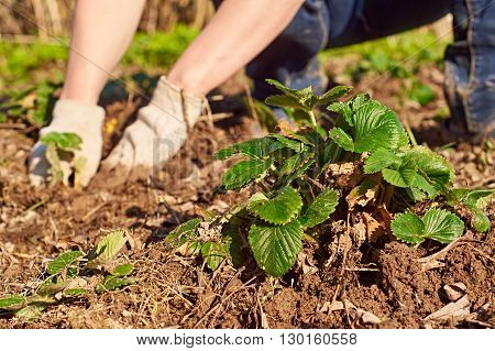 Woman wearing protective gloves weeding the strawberry beds