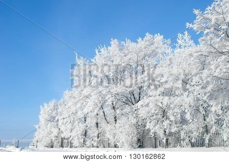 White trees in hoarfrost against the blue sky