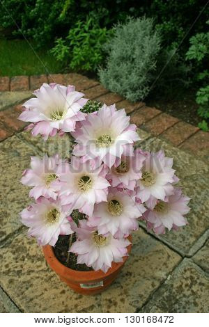 Cactus with pale pink flowers in a terracotta pot on a patio.