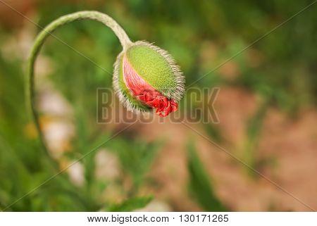 Spring poppy flower bud . Close-up macro nature.