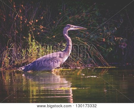 a heron fishing in a marshy park pond toned with a retro vintage instagram filter effect app or action - shallow DOF FOCUS on the face