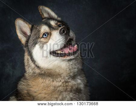 Siberian Husky With Blue Eyes
