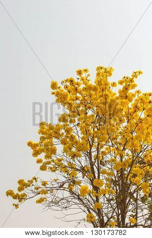 yellow flowers bloom in spring northern Thailand