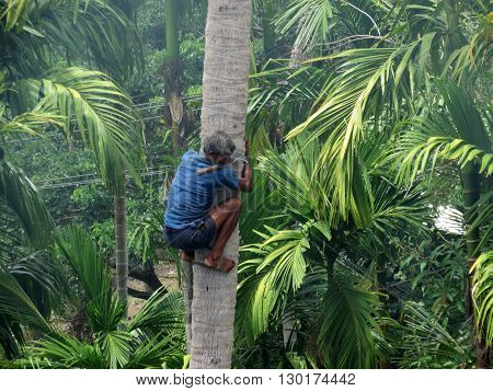 Andaman-Apr 20: A deft man climbing palm tree to trim branches and  pluck fruit in Port Blair, Andaman Apr 20, 2012 in Andaman and Nicobar Islands, India, Asia.