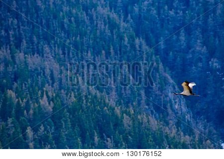 one Demoiselle crain - Anthropoides virgo flying on a blue forest background. Altay mountains Siberia Russia.