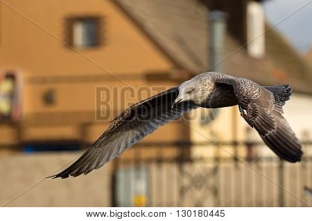Herring Gull on the fly in the city