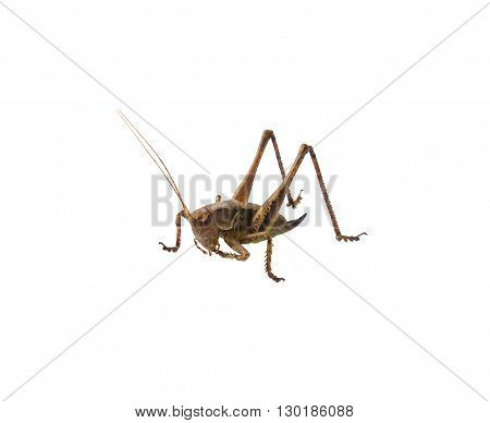 Small brown grasshopper isolated on white background