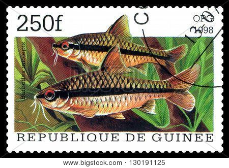 STAVROPOL RUSSIA - APRIL 30 2016: a stamp printed in Republique de Guinee show the fishes Barbodus miolepis series circa 1998