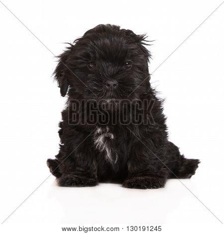 adorable lhasa apso puppy posing on white