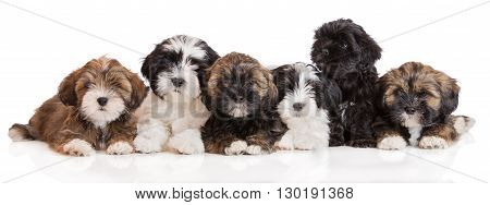 group of lhasa apso puppies posing on white