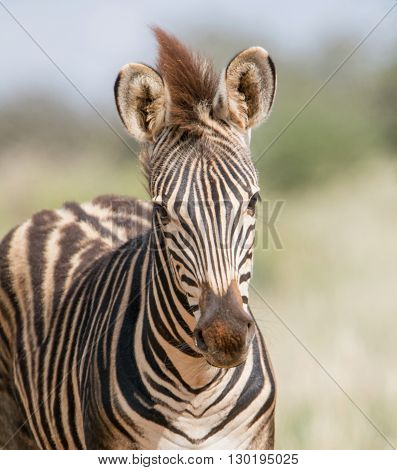 A young Burchell's Zebra in Southern African savannah
