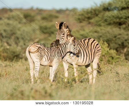 A Burchell's Zebra mother and foal standing in Southern African savannah